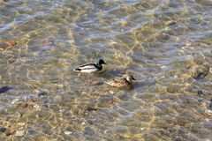 Duck and drake swim on the river against the backdrop of a beautiful bottom royalty free stock photography