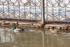 Duck and drake swim in the water in the channel, Park `Garden o Royalty Free Stock Photography