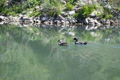 Two ducks swim in the pond stock photo