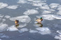 Duck and drake are walking on the ice of the spring river royalty free stock image