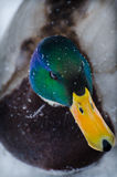 Duck. A drake in the Zoo Stock Photography
