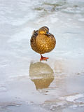 Duck dreaming Royalty Free Stock Photography