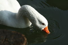 Duck drinking Royalty Free Stock Photos