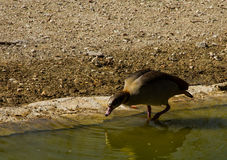 Duck drinking in a pool while walking. A duck drinking in a pool Stock Images