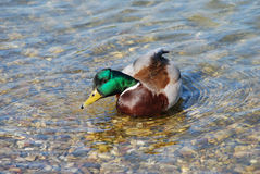 Duck drinking water. Male duck green head over transparent water Royalty Free Stock Photography