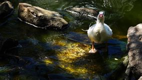 Duck Drinking Water da insenatura archivi video