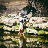 Duck Drinking Water Royalty Free Stock Images