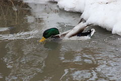 Duck drinking. A duck drinking water in a pond Stock Photos