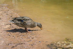 Duck drinking water on the shore Royalty Free Stock Images