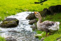 Duck is drinking water on a small river. Royalty Free Stock Images