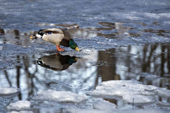 Duck drinking water Stock Image