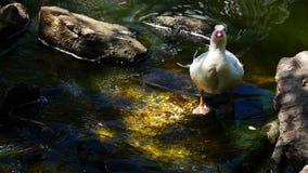Duck Drinking Water van Kreek stock video