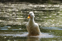 Duck and drops. White duck scattering drops around Royalty Free Stock Photo