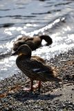 Duck. A duck drying off in the sun Stock Image