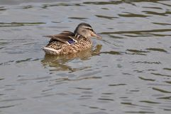 A duck on surface of lake. Duck, duck baby, duck family, nature designer, bird home, lake royalty free stock photography