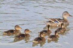 Mother duck ( mallard duck, anas platyrhynchos ) with ducklings swimming on lake surface. Duck, duck baby, duck family, nature designer, bird home Royalty Free Stock Image