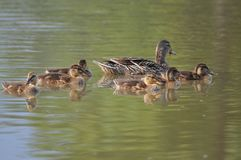 Mother duck ( mallard duck, anas platyrhynchos ) with ducklings swimming on lake surface. Duck, duck baby, duck family, nature designer, bird home Stock Image