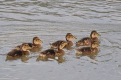 Ducklings swimming on lake surface. Duck, duck baby, duck family, nature designer, bird home, lake Royalty Free Stock Image