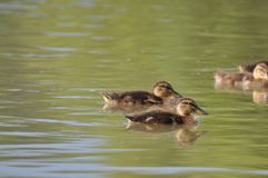 Ducklings swimming on lake surface. Duck, duck baby, duck family, nature designer, bird home, lake Stock Photos