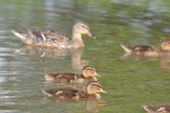 Mother duck ( mallard duck, anas platyrhynchos ) with ducklings swimming on lake surface. Duck, duck baby, duck family, nature designer, bird home Stock Photos