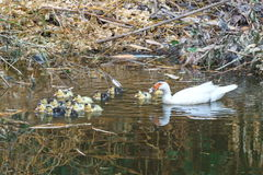Duck ,duck with the ducklings first time in the water on the lake . Royalty Free Stock Image