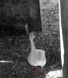 Duck. Lings swan goose white animal bird feathers fauna wildlife fly naturr nature tree outdoors farm poultry waterfowl agriculture farming hen chicken zop zoo royalty free stock images