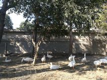 Duck. Lings swan goose white animal bird feathers fauna wildlife fly naturr nature tree outdoors farm poultry waterfowl agriculture farming hen chicken zop zoo royalty free stock image