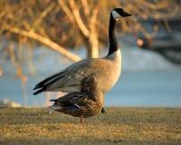 Duck Duck Goose Lizenzfreie Stockfotos