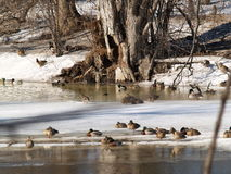 Duck Duck Goose. A thawing river with ducks and geese royalty free stock image