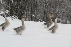 Duck...Duck...Goose Royalty Free Stock Images