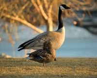 A Duck and a Goose. A female mallard duck prens her feathers as an adult goose walks by Royalty Free Stock Photos