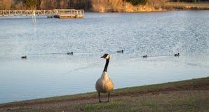 Duck, duck, goose Stock Image