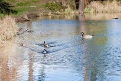 Duck, Duck, Goose Stock Photo