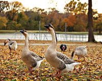 Goose in a Park Royalty Free Stock Images