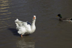 White Goose. A Mallard Duck and a Goose Royalty Free Stock Photography