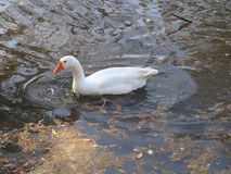 Duck Duck Goose. White orange bird beak feathers water lake park nature ripples leaves Stock Photos