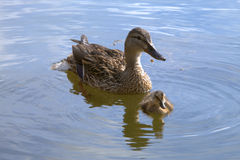 Duck with the duckling. Float on lake Stock Photography