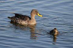 Duck and Duckling. Mother duck watching over her duckling swimming away Stock Images