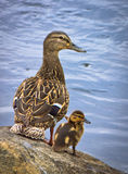 Duck with duckling Stock Photo