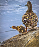 Duck with duckling Stock Images