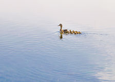 Duck and Duckling Royalty Free Stock Photos