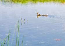 Duck and Duckling Royalty Free Stock Photo