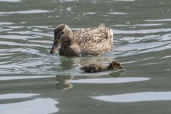Duck and duckling. On lake Royalty Free Stock Image