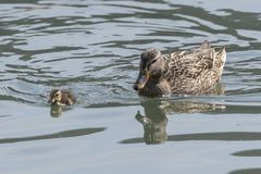 Duck and duckling. On lake Royalty Free Stock Photography