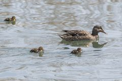 Duck and duckling. On lake Stock Photography