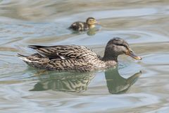 Duck and duckling. On lake Stock Photo