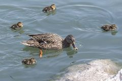 Duck and duckling. On lake Royalty Free Stock Photo