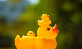 Duck and duckling Royalty Free Stock Photography