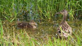 Duck and duckling Royalty Free Stock Images