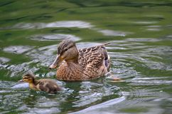 Duck with duckling Royalty Free Stock Photo